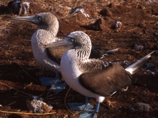Blue-footed boobies with blue feet visible-Galapagos