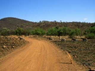 Burchell's zebras crossing the road-Pilansberg Park