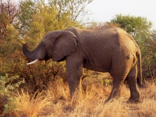 Elephant grazing-Pilansberg Park, South Africa