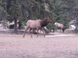 Elk (dig)-Jasper