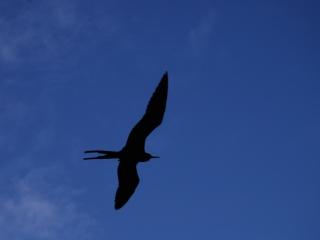 Frigate bird silhouette (dig)-Half Moon Caye, Belize