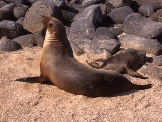 Galapagos sea lion posing-North Seymour Island, Galapagos