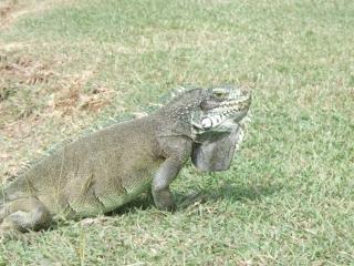 Gray iguana (dig)-Guadeloupe