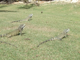 Gray iguanas (dig)-Grand-Terre, Guadeloupe