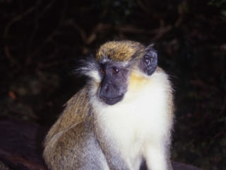 Green (Vervet) monkey-Barbados