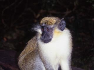 Green (Vervet) monkey-Barbados