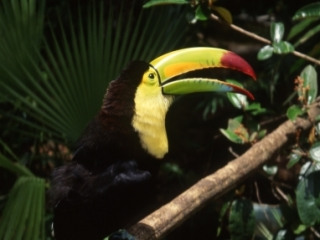 Keel-billed toucan beak open-Belize
