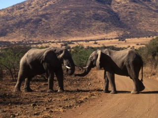 Male elephants approaching each other-Pilansberg Park