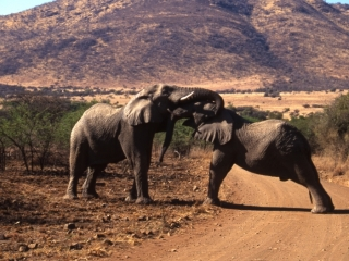 Male elephants jousting-Pilansberg Park