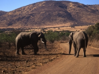 Male elephants sizing each other up-Pilansberg Park, South Africa