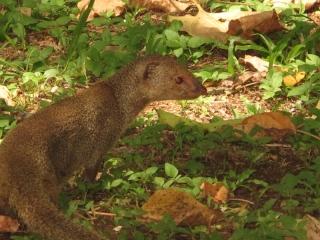 Mongoose (dig)-Diamond Head Crater, Oahu