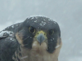 Peregrine falcon & blowing snow (dig)-Toronto