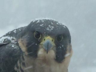 Peregrine falcon & blowing snow (dig)-Toronto