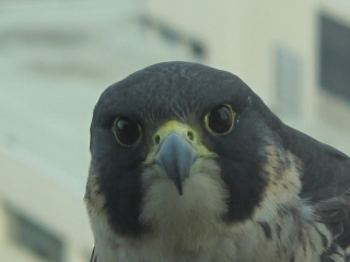 Peregrine falcon (dig)-Toronto, Ontario