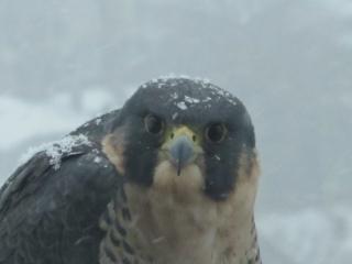 Peregrine falcon in snow (dig)-Toronto