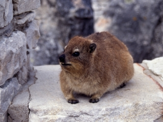 Rock Dassie at top of Table Mountain-Cape Town, South Africa