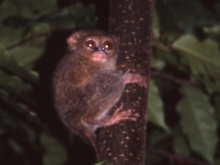 Tarsius Spectrum, North Sulawesi, Indonesia