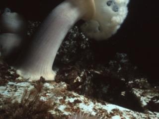 Plumose anemone-HMCS MacKenzie, Pender Islands