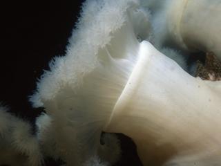 Plumose anemones-British Columbia