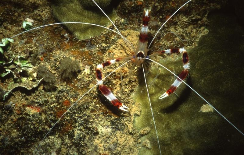 Banded coral shrimp-Truk Lagoon