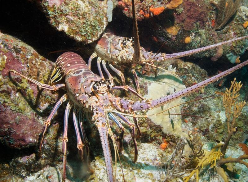Caribbean spiny lobsters (dig)-British Virgin Islands