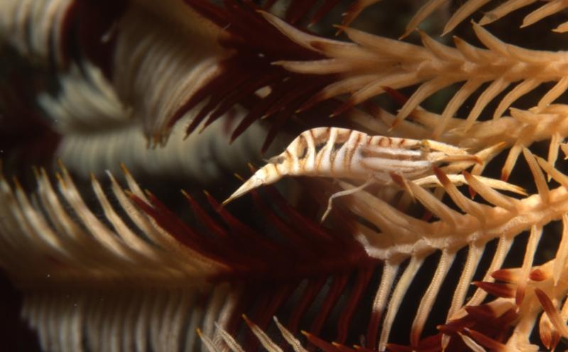 Crinoid shrimp-Maldives