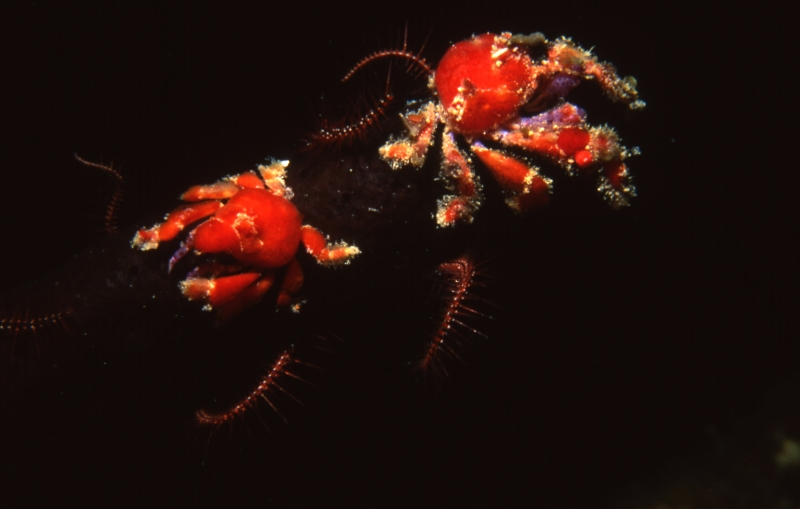 Cryptic teardrop crabs-British Virgin Islands