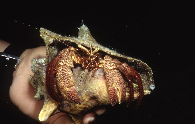 Giant hermit crab in hand-Belize