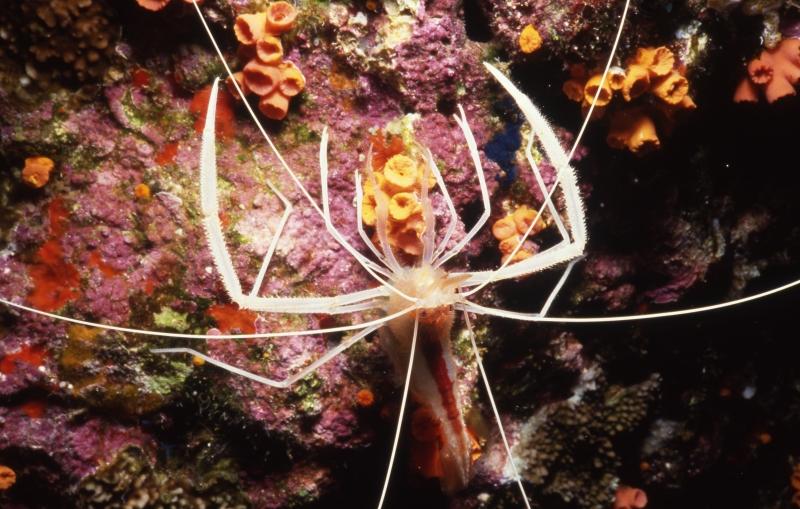 Giant shrimp-Maui, Hawaii