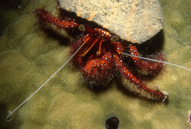 Hermit crab-Kavieng, Papua New Guinea (1)