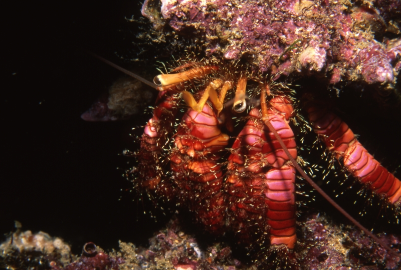 Hermit crab-Wolf Island, Galapagos