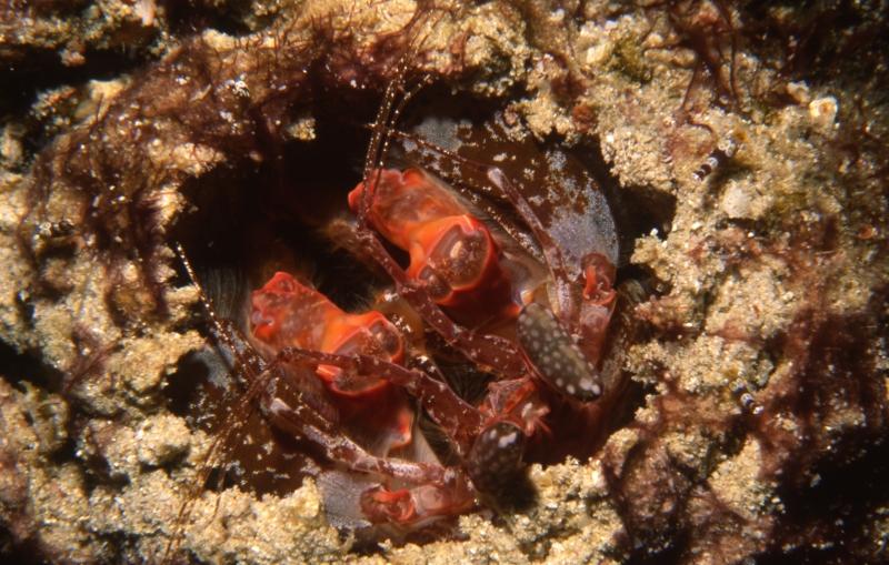 Javelin mantis shrimp-Similan Islands, Thailand