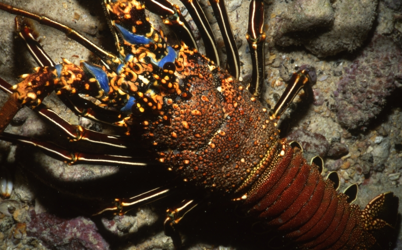 Rock lobster-Cocos Island