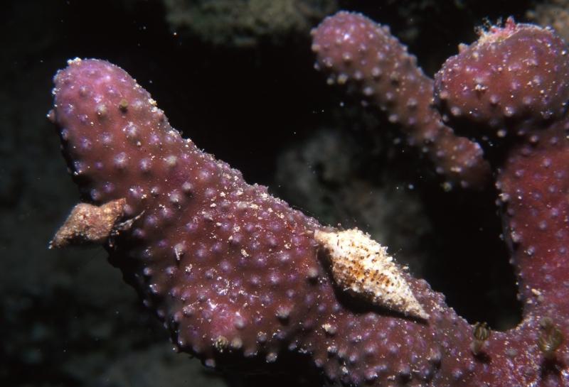 Small Hermit crabs on finger sponge-Exumas, Bahamas