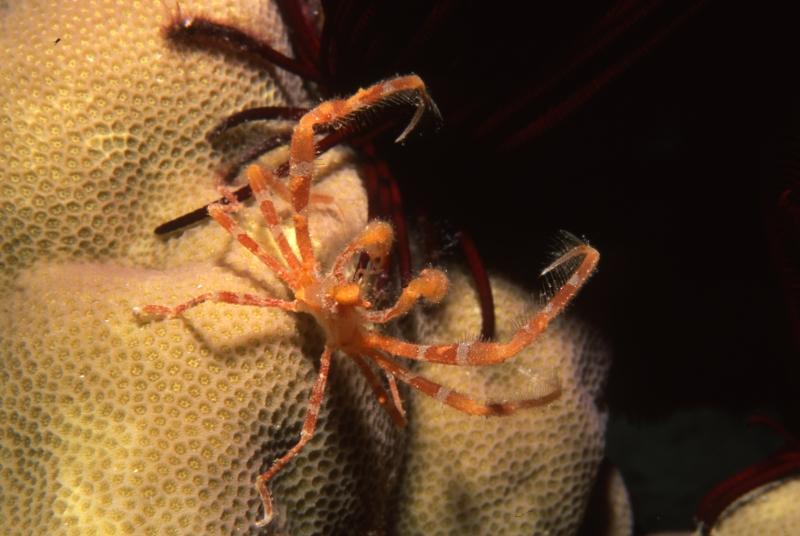 Spider crabs-Coral Sea, Australia
