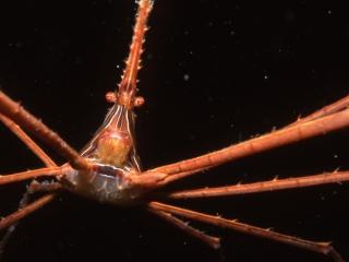 Arrow crab-St. Kitts