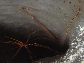 Arrow crab in tube sponge-Belize