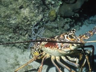 Caribbean spiny lobster-Exumas, Bahamas