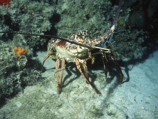 Caribbean spiny lobster-Exumas