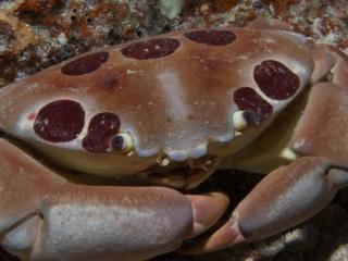 Carpilius maculatus reef crab (dig)-Fiji