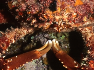 Coral crab-Belize