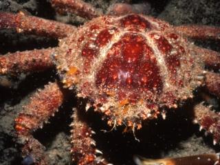 Giant coral crab-Exumas, Bahamas