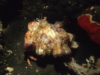 Hermit crab-Manado, Indonesia
