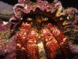 Hermit crab-Wolf Island