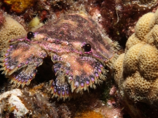 Slipper lobster (dig)-Hawaii