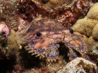 Slipper lobster (dig)-Kona, Hawaii