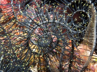 Feather star arms (dig)-Fiji