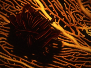 Feather star curled up on Sea fan-Coral Sea, Australia