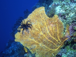 Feather star on Sea fan-Coral Sea