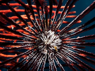 Feather star oral disc & arms (dig)-Fiji